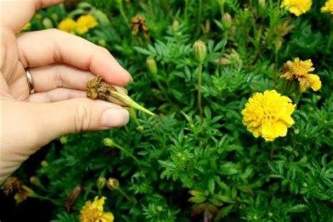 deadheading refers to flower deadheading why when how