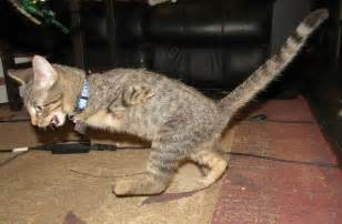 cats with legs 2 legged t rex kitty things