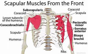 Shoulder Blade  Scapular  Muscles  Origin  Insertion