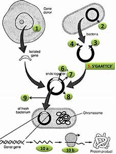 Diagram Quiz On Steps In Recombinant Dna Or Rdna