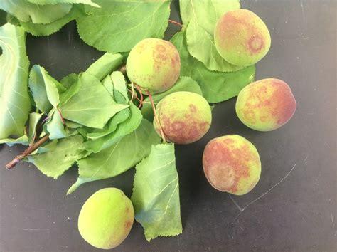 NMSU Plant Clinic: Powdery Mildew on Apricot