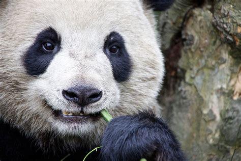 Saving China's Pandas   Al Jazeera