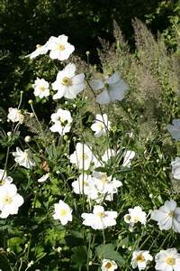 Weiß Blühende Stauden : japanische herbst anemone anemone japonica hybride 39 honorine jobert 39 ~ Markanthonyermac.com Haus und Dekorationen