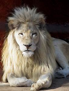 White Lion Stock 1 by HOTNStock on DeviantArt