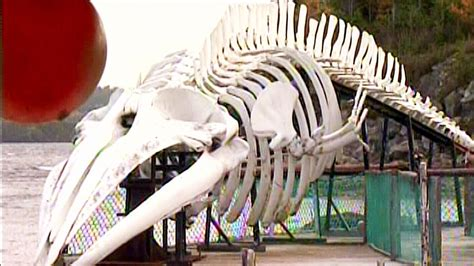 whale   display giant whale skeleton showcased