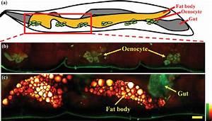 The Internal Organs Of A Living Drosophila Larva   A  A