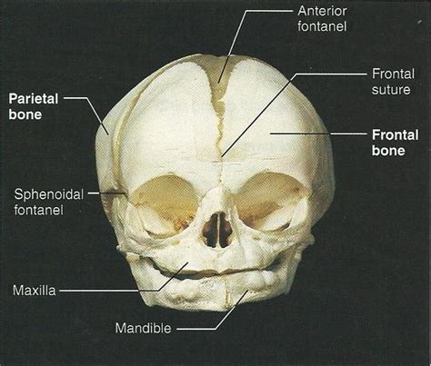 exercise   fetal skeleton flashcards easy notecards