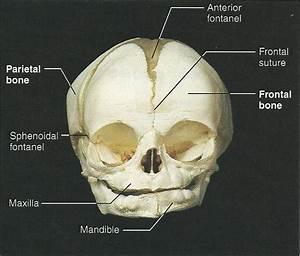 Exercise 12  The Fetal Skeleton Flashcards