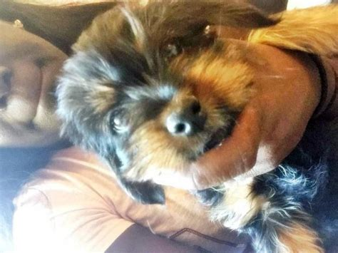 yorkie puppies  sale  memphis tennessee puppies