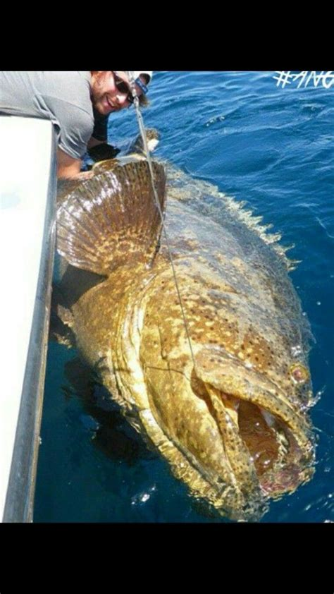 fishing grouper fish goliath bass saltwater air its bladder water peces river catfish salt giant spear line tackle wow salada