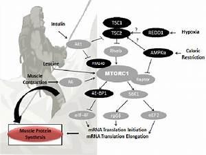 A Simplified Schematic Diagram Of The Mammalian Target Of Rapamycin
