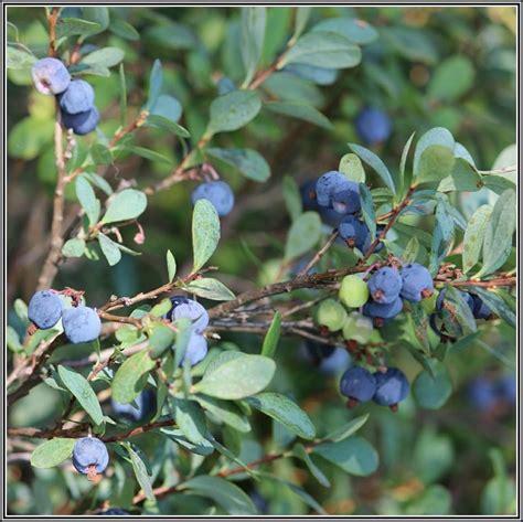 Heidelbeeren Im Garten Kultivieren Download Page Beste