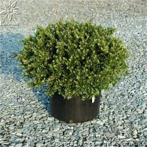 taylors rudolph dwarf yaupon holly evergreen  berries