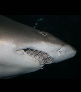 Dents Qui Se Déchaussent Photos : photo ceux qui se nourrissent de poissons ont des dents pointues et effil es cr dits adair ~ Medecine-chirurgie-esthetiques.com Avis de Voitures