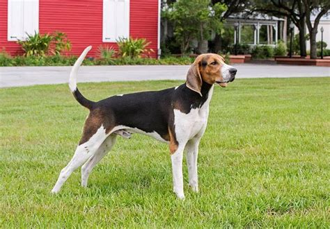 walker coonhound treeing dog breed hound breeds coonhounds petfinder poodle run away profile