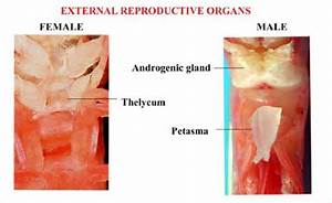 External Reproductive Organs In Male And Female Shrimp
