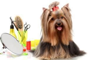do yorkies shed hair do terrier dogs shed do yorkies shed a lot