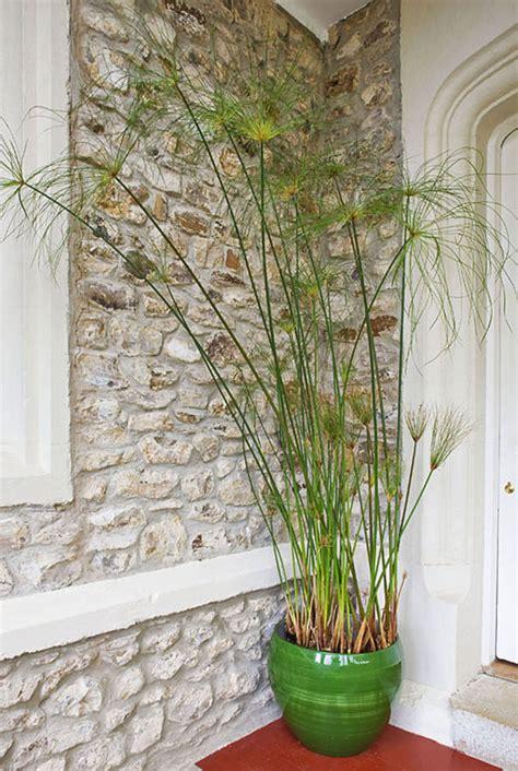 planter un papyrus en pot conserver un papyrus en pot d 233 tente jardin
