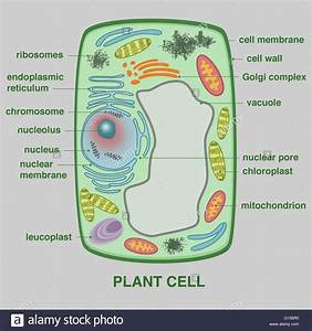 An Illustration Of A Plant Cell Stock Photo  103991972