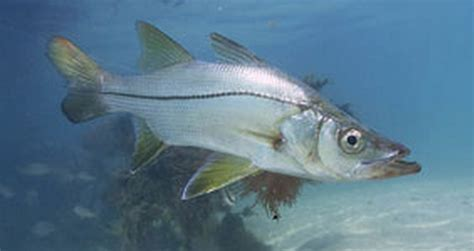 fish identification snook species