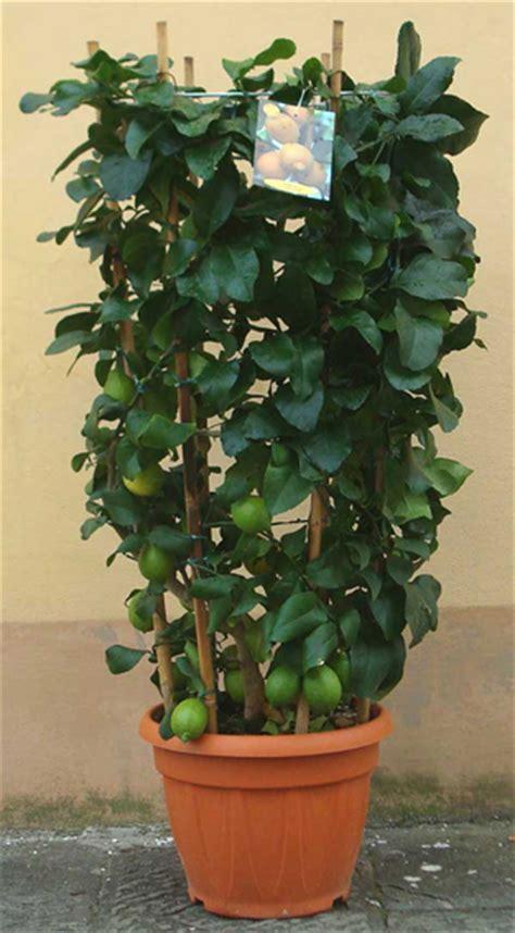 piante di limone in vaso piante limone in vaso