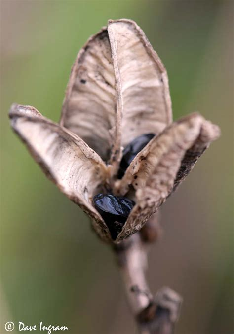 lily seeds