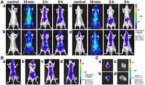 In Vivo Imaging Specificity Investigation Of Liver Carcinoma