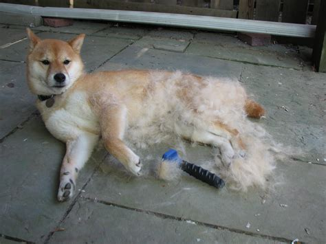 the misadventures of a shiba inu shedding