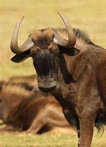 File Black Wildebeest  Or White