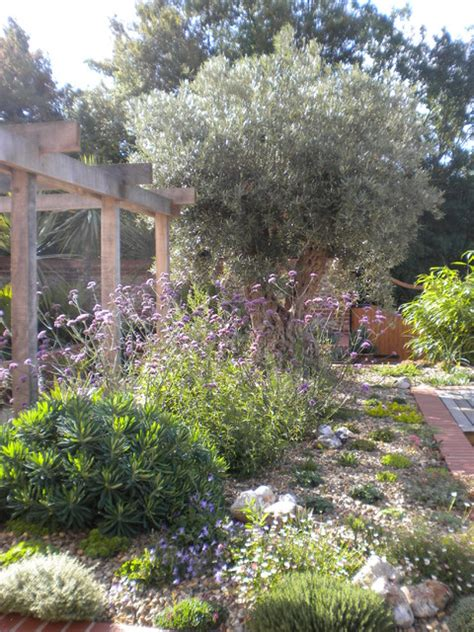 olive tree landscaping olive tree and mediterranean planting mediterranean landscape east anglia by sue bell