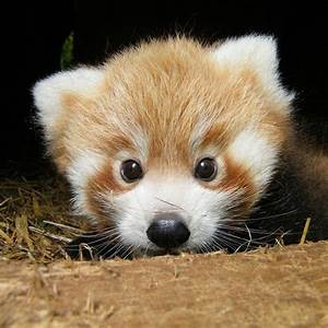 Baby Red Pandas Emerge For The First Time | Baby red ...