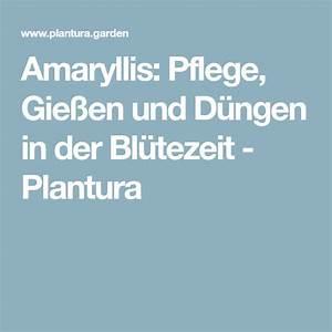 Alpenveilchen Gießen Wie Oft : amaryllis pflegen gie en d ngen zur bl tezeit ~ A.2002-acura-tl-radio.info Haus und Dekorationen