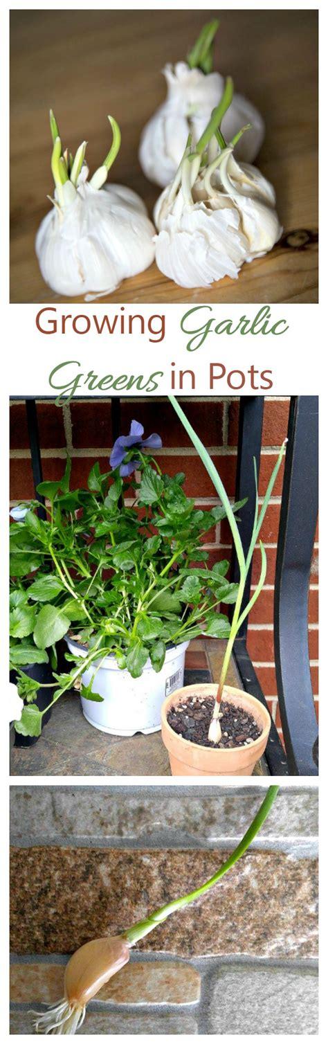 growing garlic greens indoors  gardening cook
