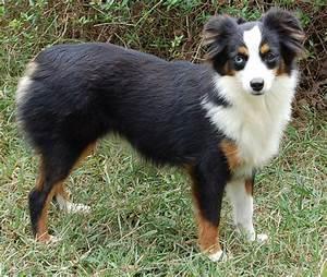 Australian Shepherd Dog Black