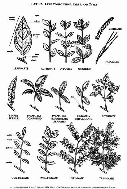 Leaves Plant Leaf Types Plants Identification Tree