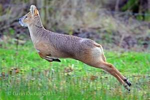 Water Deer - Bing images