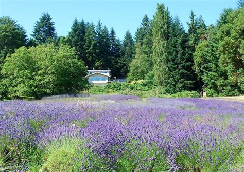 growing lavender the 25 best growing lavender ideas on pinterest how to plant lavender easy to grow flowers