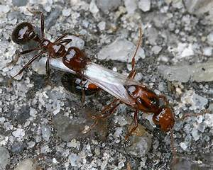 Fire Ant Queen detained by large worker - Solenopsis ...