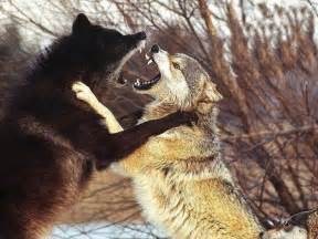 Image result for images wolves fighting