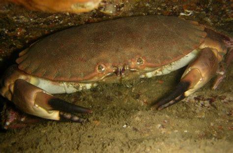 Dormeur Crabe by Cancer Pagurus
