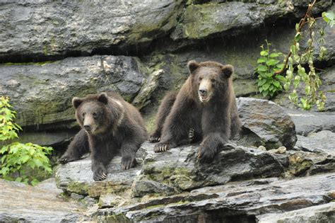 zoo bronx bear grizzly brown cubs planet animal read tv less
