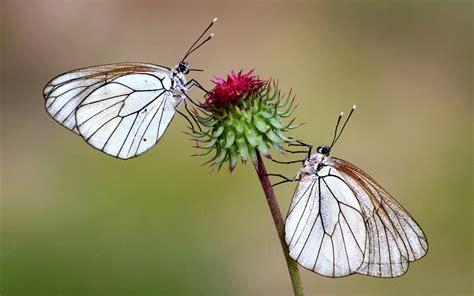 beautiful white butterfly  flower spike desktop