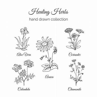 Herbs Healing Holistic Medicine Illustration Calendula Vector