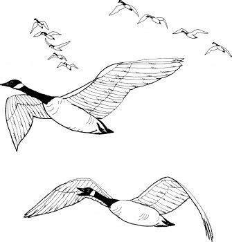 flock  canada geese unit migration hibernation