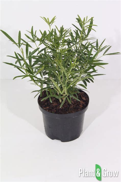 choisya aztec pearl en pot choisya ternata aztec pearl kopen plant grow
