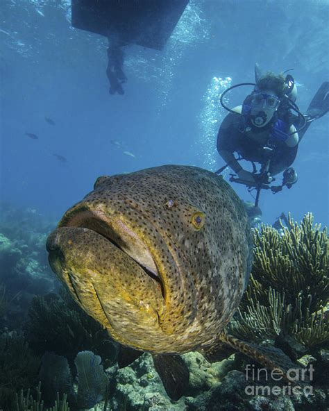grouper diver goliath swimming barnes brent photograph vertical 12th uploaded august which