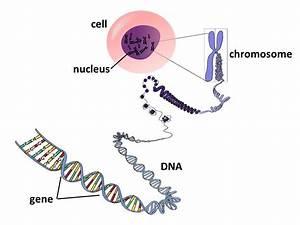 Diagram Dna And Chromosome Gene Allele