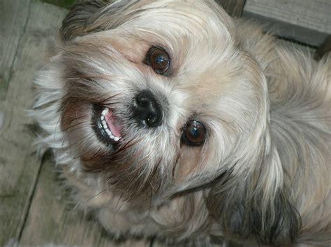 Cute White Puppies Wallpaper 50 Most Beautiful Shih Tzu Dogs For Home Golfian Com