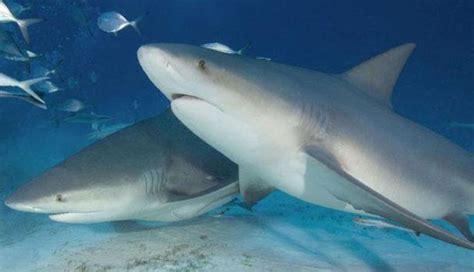 requin d eau douce explication sur ce changement du requin bouledogue les seigneurs des mers