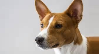 basenji dog breed information american kennel club